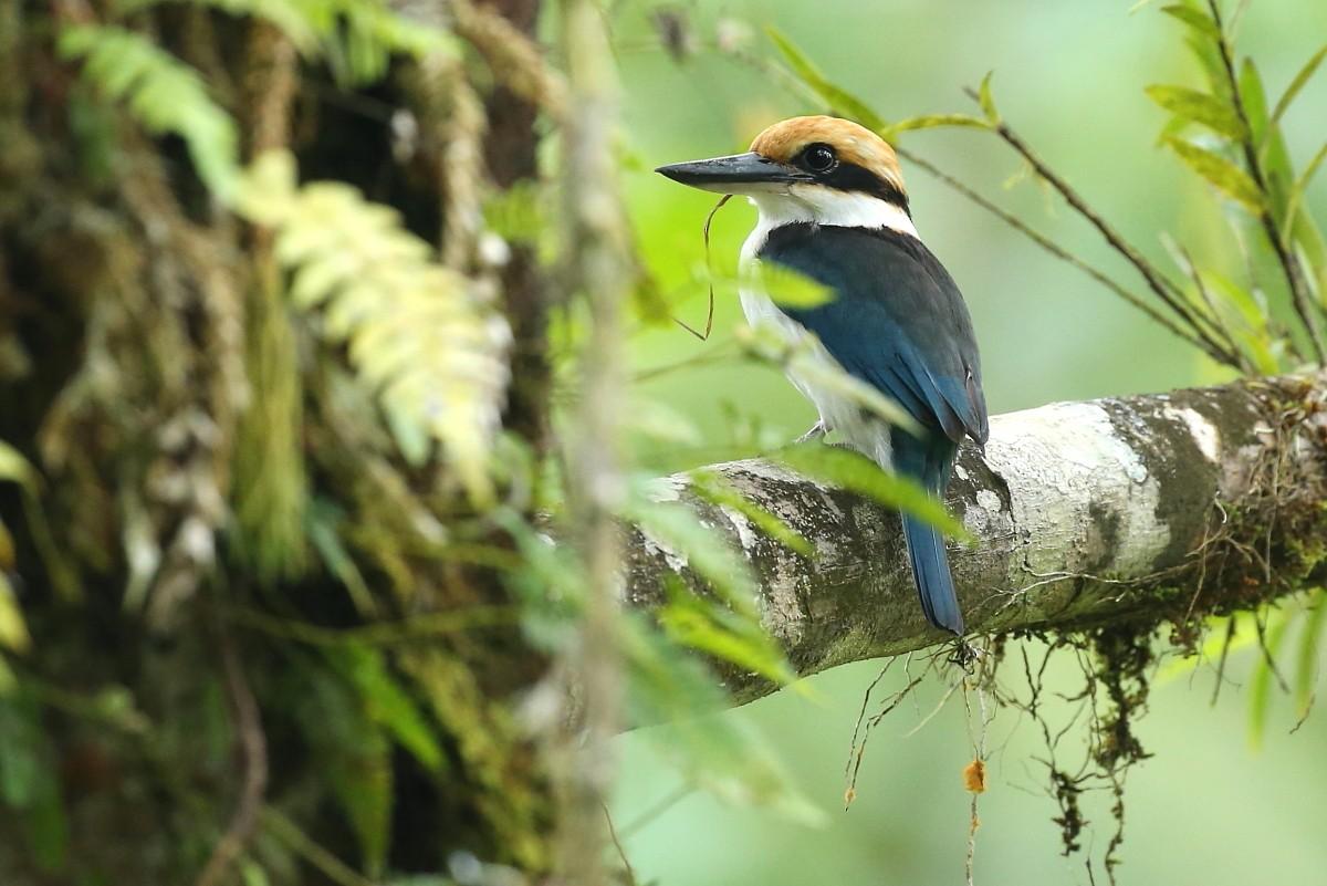 Pohnpei Kingfisher - Janos  Olah