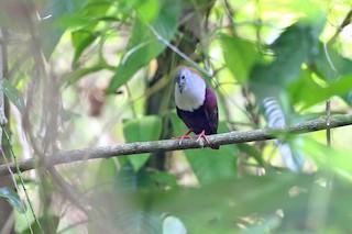 - Palau Ground Dove