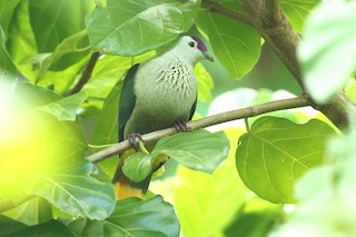 - Kosrae Fruit-Dove