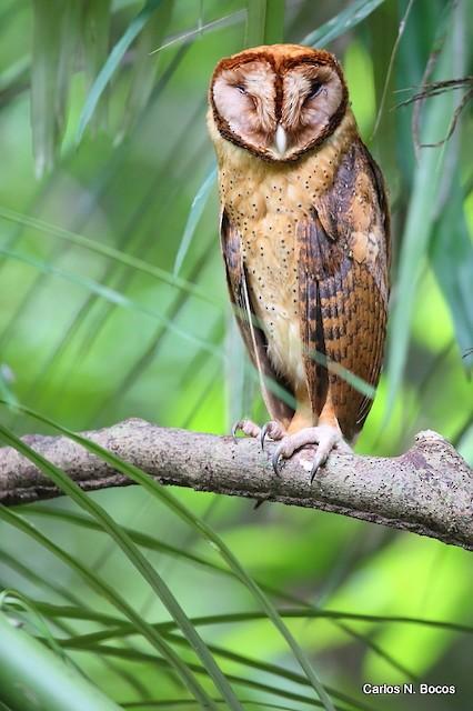 Minahassa Masked-Owl