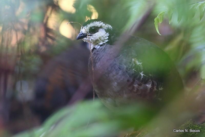 Gray-breasted Partridge - Carlos Bocos