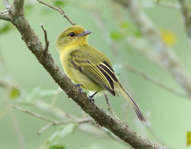 Yellow-breasted Flycatcher (Ochre-lored)