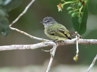 - Gray-crowned Flycatcher