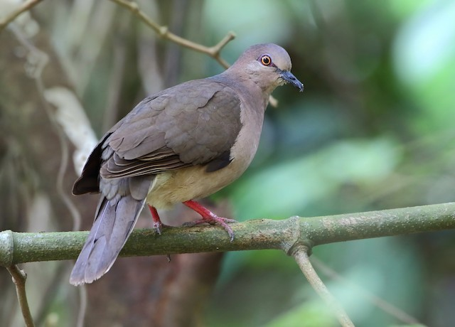 White-tipped Dove (brasiliensis Group)