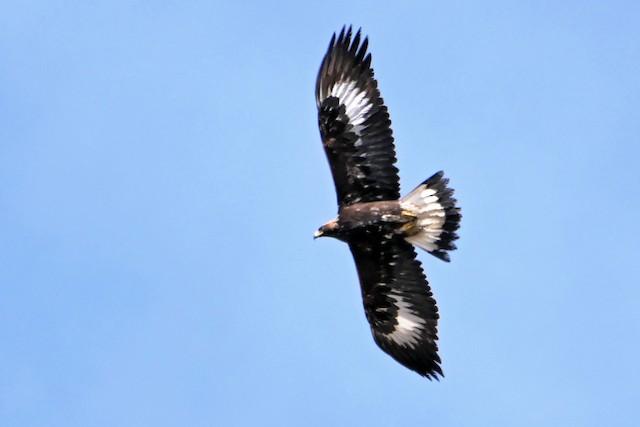Juvenile Golden Eagle (China).