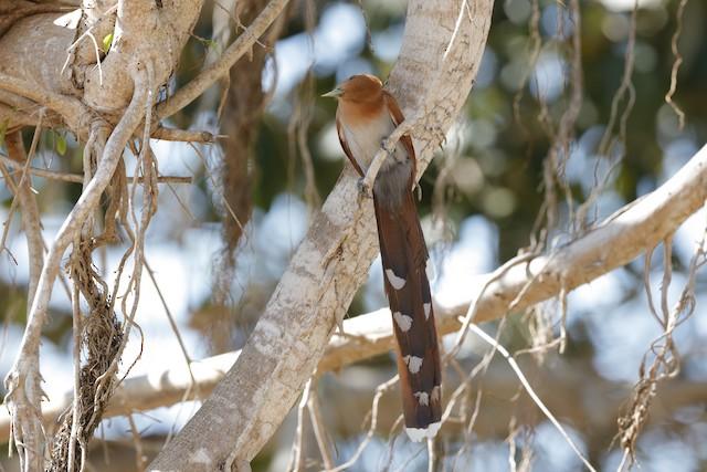Squirrel Cuckoo (Amazonian)