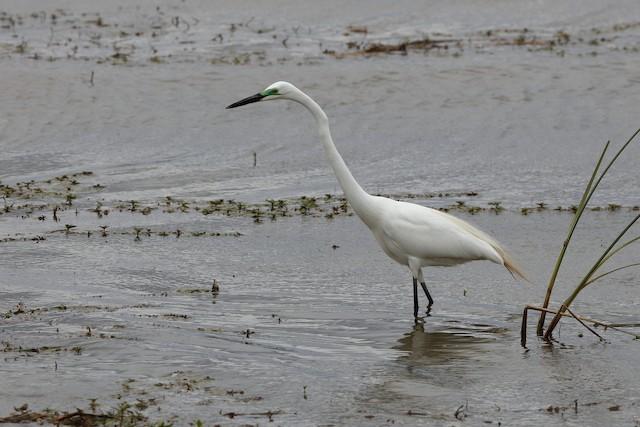 Great Egret (African)