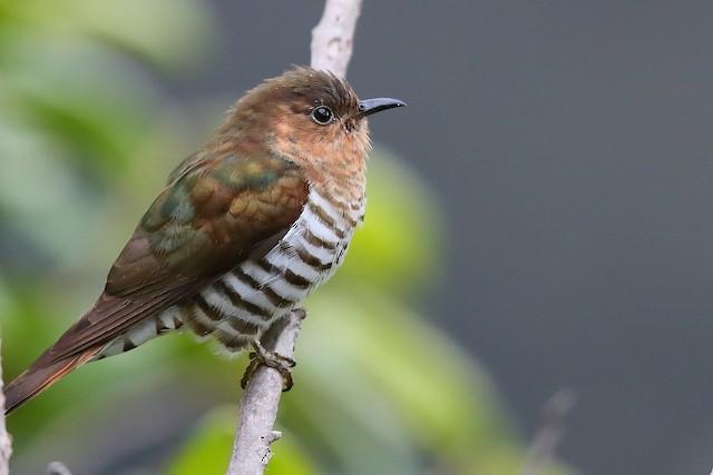 Rufous-throated Bronze-Cuckoo