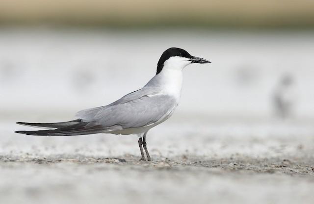 Gull-billed Tern (Gull-billed)