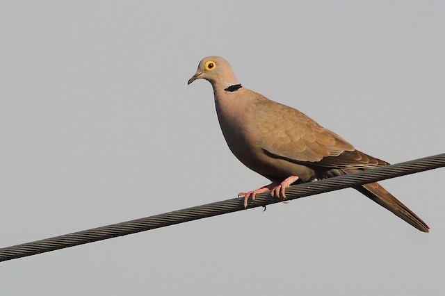 Eurasian Collared-Dove (Burmese)