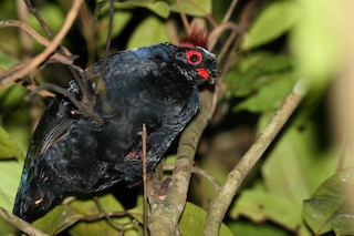 - Crested Partridge