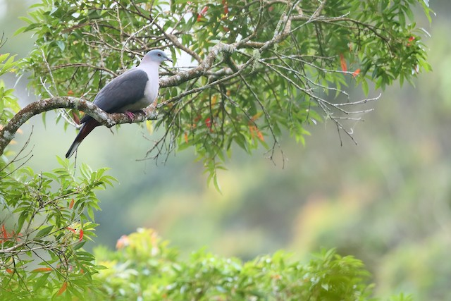 Dark-backed Imperial-Pigeon (Gray-headed)