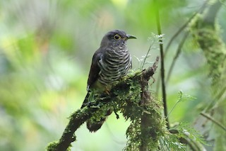 - Dusky Long-tailed Cuckoo