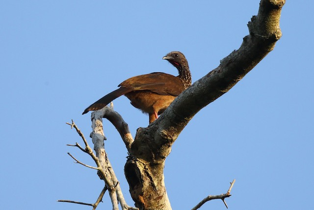 Speckled Chachalaca (Speckled)