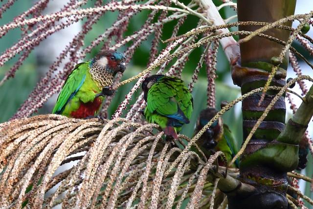 ©Josef Widmer - Painted Parakeet (Painted)