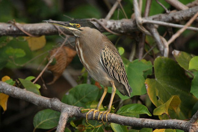 Striated Heron (South American)