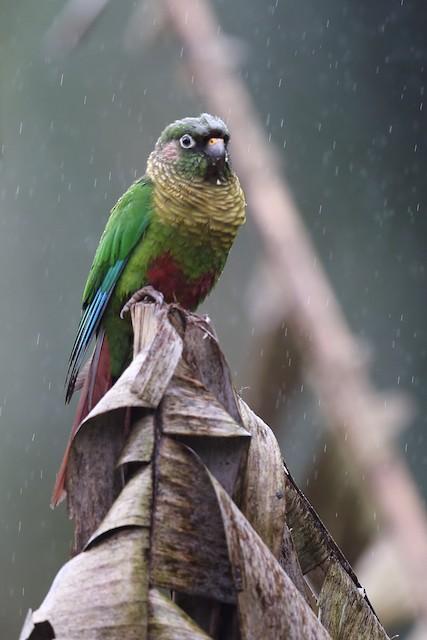 Maroon-bellied Parakeet (Maroon-tailed)