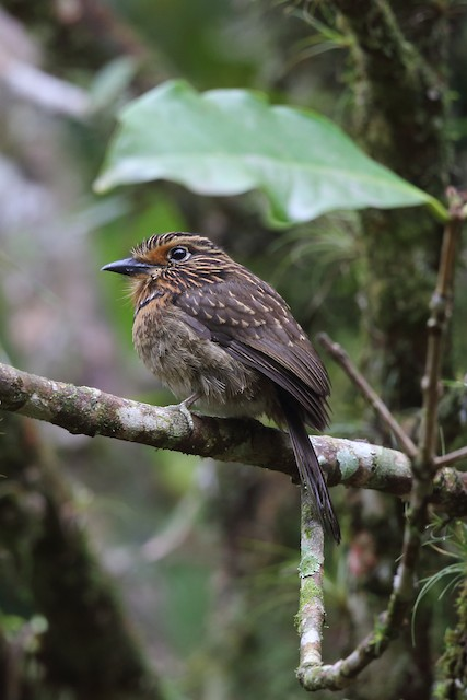 Crescent-chested Puffbird (Greater)