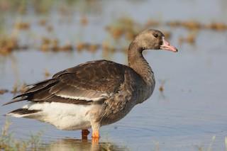 Greater White-fronted Goose (Eurasian)