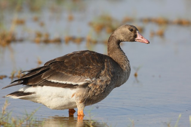 Greater White-fronted Goose (Eurasian)