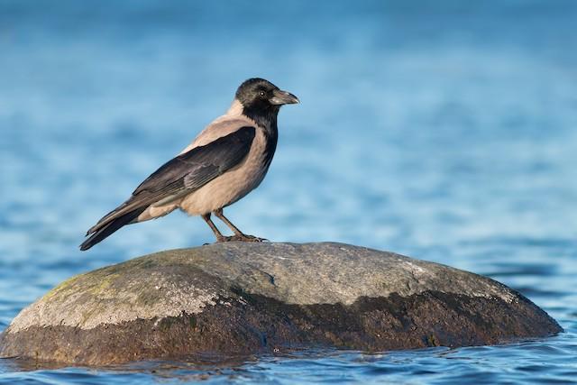 Hooded Crow (Hooded)