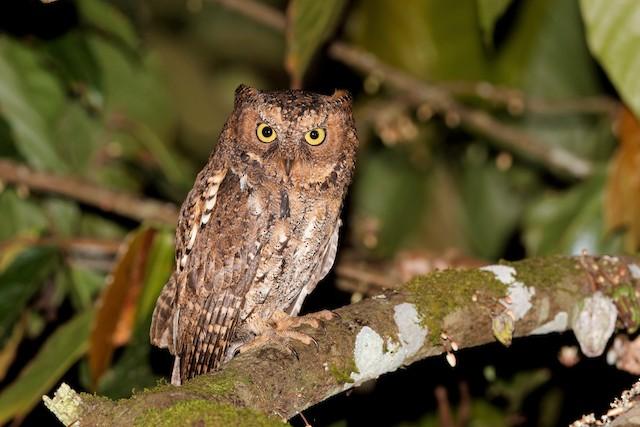 Sulawesi Scops-Owl (Sulawesi)