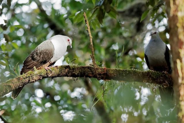 Sombre Pigeon