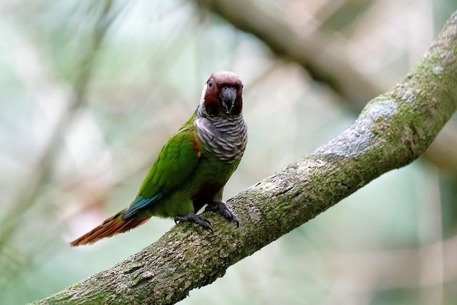 ©Holger Teichmann - Gray-breasted Parakeet