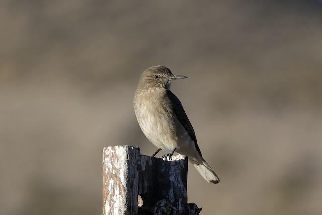 ©Holger Teichmann - Black-billed Shrike-Tyrant