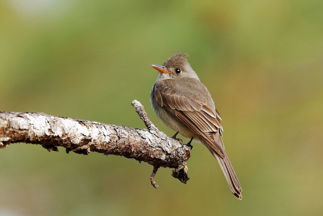 Greater Pewee (Central American)