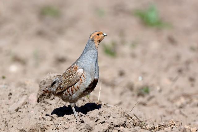 Gray Partridge