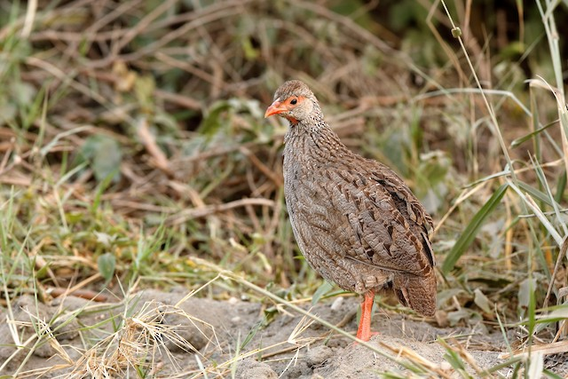 Red-necked Francolin (Cranch's)