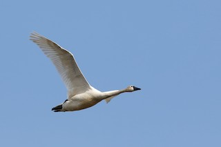 Tundra Swan (Whistling), ML204302741