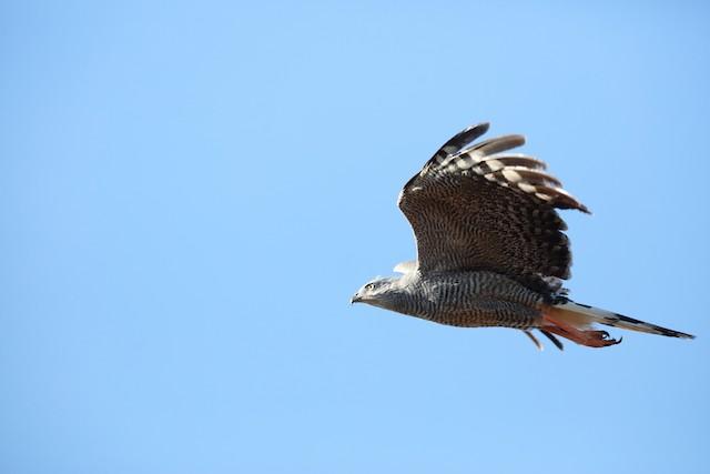 Crane Hawk (Banded)