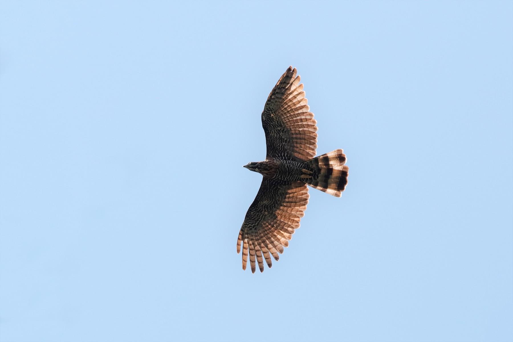 Sulawesi Honey-buzzard - Holger Teichmann