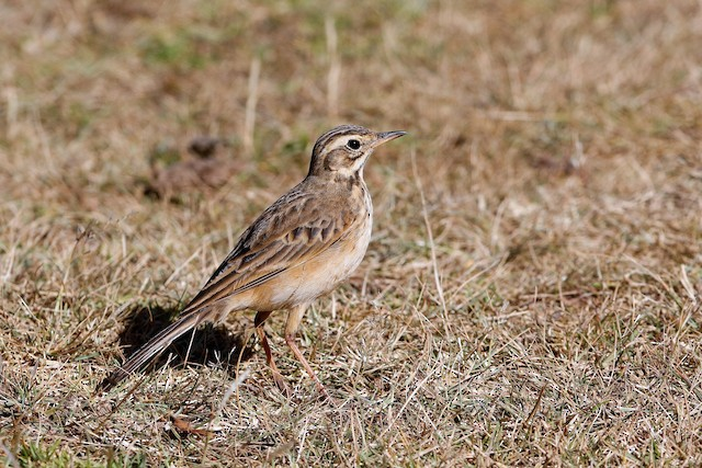 African Pipit (African)