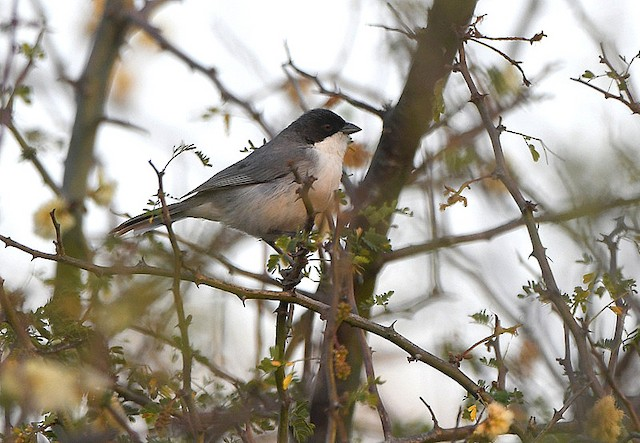 Black-capped Warbling-Finch