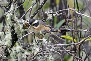 - Plain-tailed Warbling-Finch