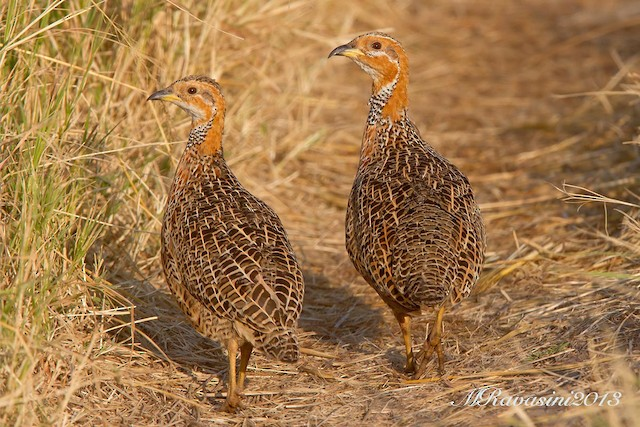 Red-winged Francolin