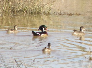 Wood Duck, ML20434341
