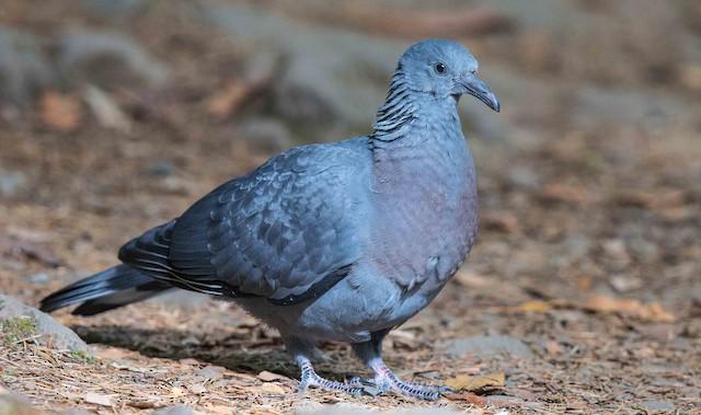 Trocaz Pigeon