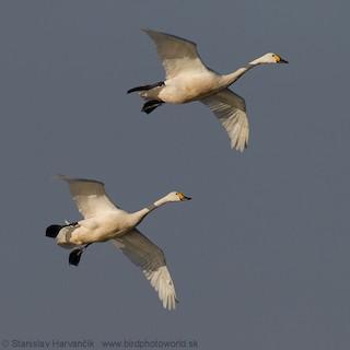 Tundra Swan, ML204377061