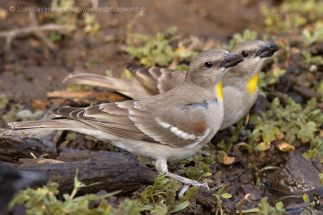 Yellow-throated Sparrow