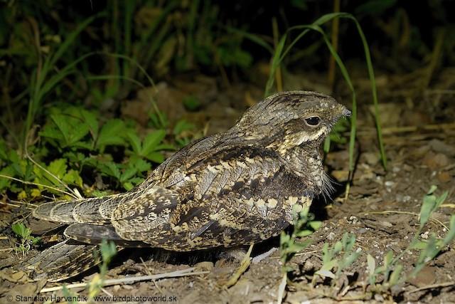 Eurasian Nightjar
