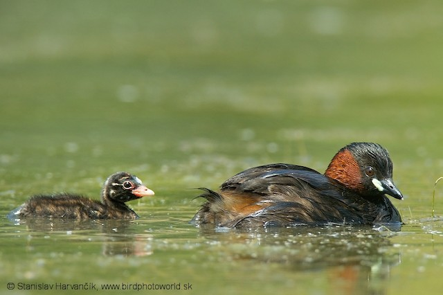 Little Grebe (Little)