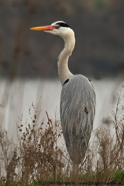 Gray Heron (Gray)