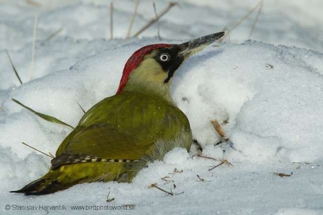 Eurasian Green Woodpecker (Eurasian)