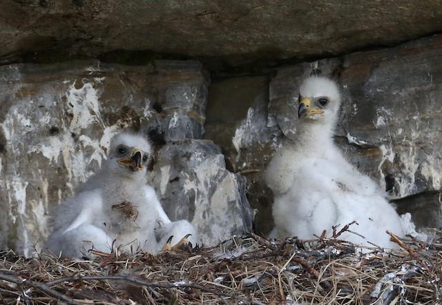 Downy nestlings.