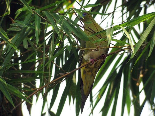 Yellow-vented Green-Pigeon