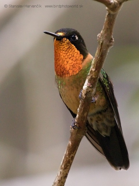 Orange-throated Sunangel
